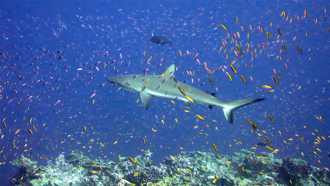 Small fishes surround a shark.
