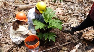 two people planting breadfruit