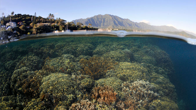 Super corals in Kāneʻohe Bay provide hope for world's coral reefs