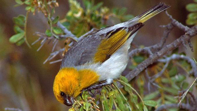 palila songbird