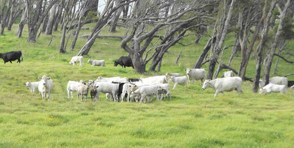 Cattle grazing at Parker Ranch. (Photo courtesy of Parker Ranch)