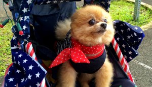 'A Salute to Our Veterans' on July 4, 2014 in Hilo. This pooch is probably trying for the 'Most Patriotic' award. Hawaii 24/7 File Photo