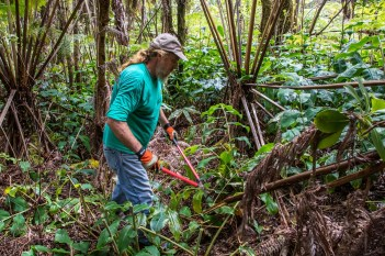 Stewardship at the Summit: a local resident removes invasive Himalayan ginger from the park. NPS Photo/Janice Wei
