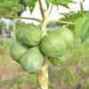 GMO papayas growing in Hawaii