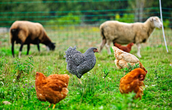Big Island Organic Farms - chickens and sheep roaming round