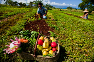 Oahu Organic Farms - man collecting produce from the field putting in basket