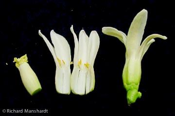 Hermaphroditepapayaflower