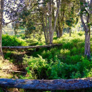 Wood plank bridge in trees and ferns