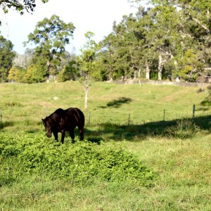 Horse in forested pasture