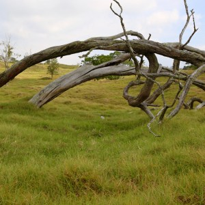 Twisted dead tree in high grass pasture