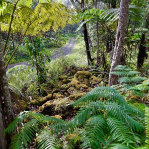 Road through old ohia forest with green tree ferns