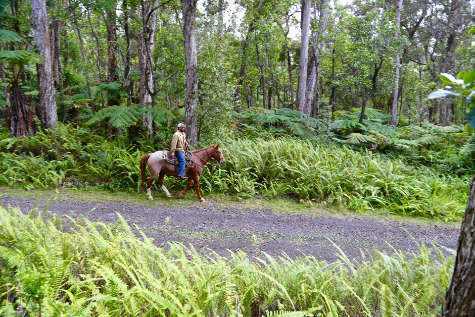 Horse rider in ohia forest with ferns