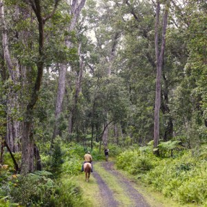 Riding horses in old ohia forest
