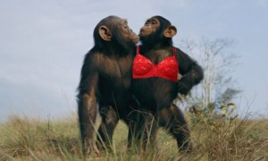 chimp_bras-copy