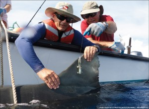 Dr. Carl Meyer (left) and Dr. Kim Holland take a final look at the satellite tag they just attached to the dorsal fin of a large tiger shark captured off the south shore of Maui.