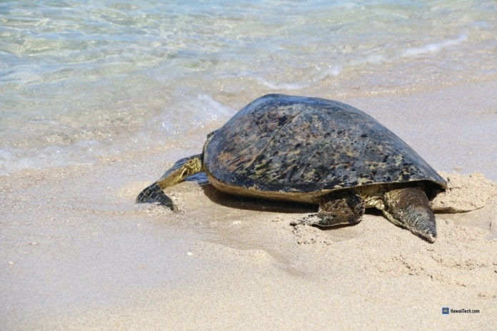 Rescued sea turtle, minus one flipper, released back to sea