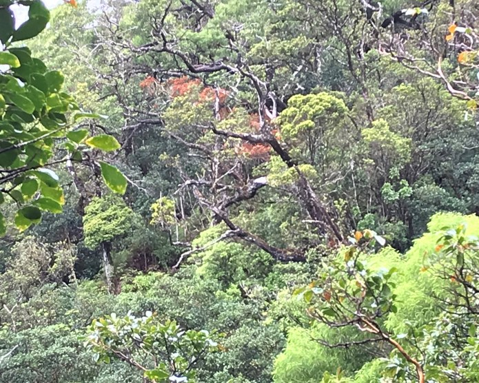 Rapid ʻŌhiʻa Death found in fifth tree on Oahu