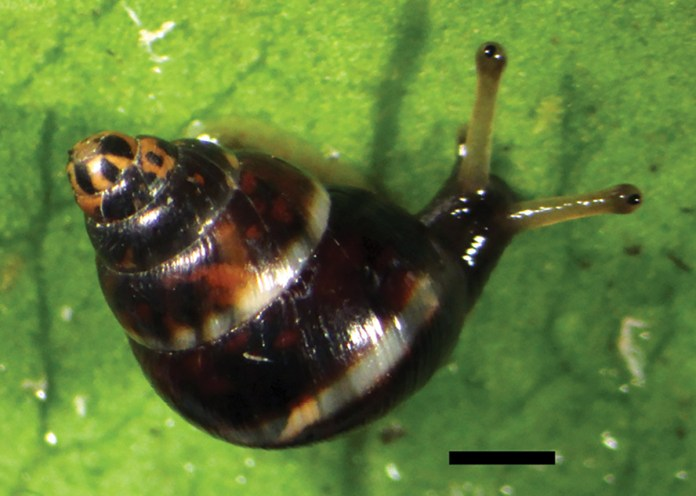 New species of native snail discovered