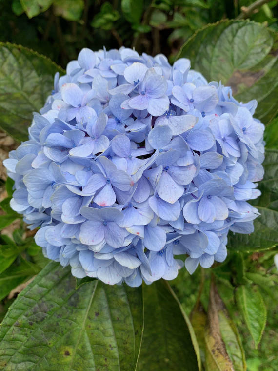 Tropical Gardening: Welcome spring with colorful Rhododendrons, hydrangeas