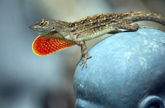 Tropical Gardening: Leaping lizards, there's a new kid in town