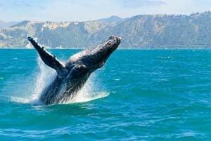 Buckelwale auf Hawaii