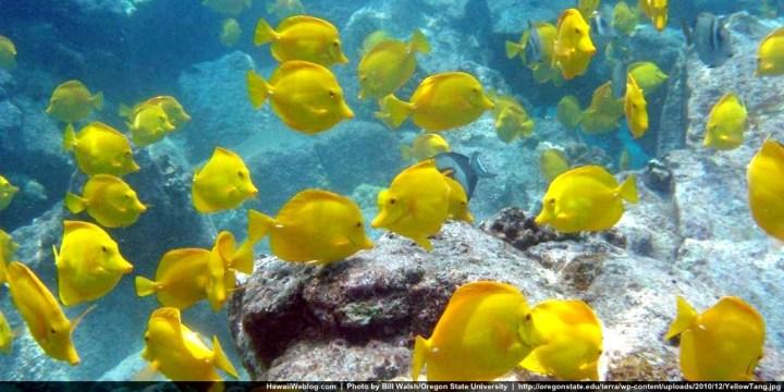 yellow-tang-bill-walsh-oregon-state-hb