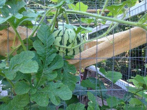 Watermelon growing vertically on chicken coop - Hawk-Hill.com