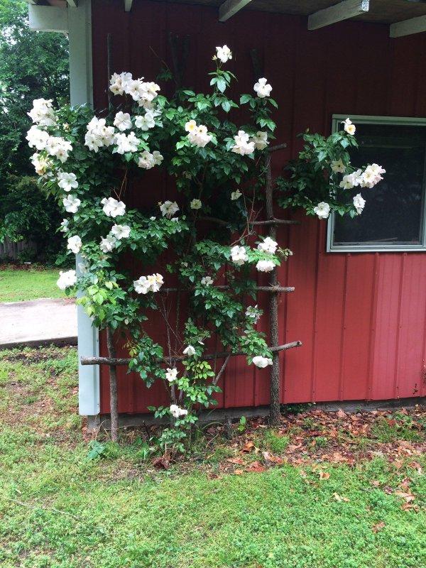 Large climbing rose on DIY rustic trellis