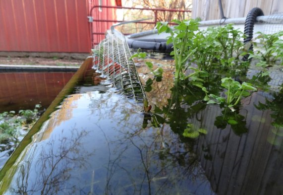 Watercress- which you can find at most grocery stores, loves a cool temperature pond and the massive root system does a great job filtering water. Watercress prefers moving water- I keep my watercress stable at the top of a waterfall using a piece of hardware cloth.