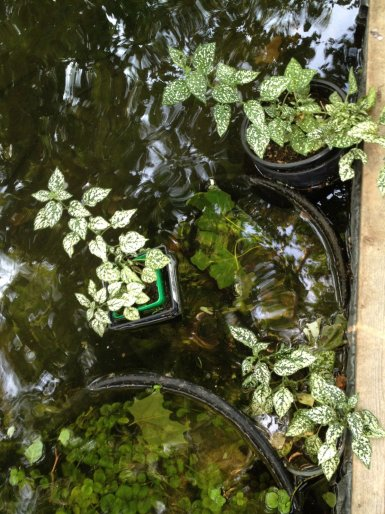 I was pleasantly suprized the hypostatis (aka Polka Dot Plant - a common houseplant) enjoys it's roots sitting in a pond in the warm months. The underwater growth is creeping Jenny- a cheap and easy to propagate perinneal that prefers to be above the waterlevel but tolerates submersion.
