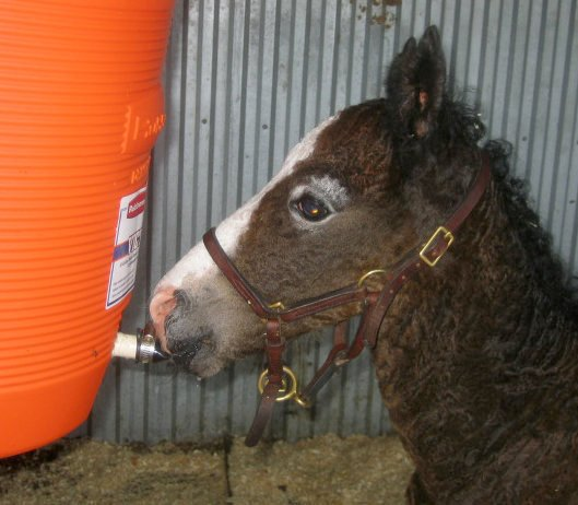 Orphan foal drinking from insulated cooler foal feeder