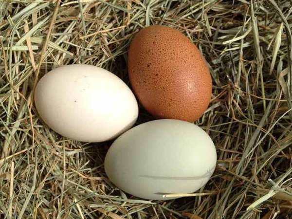One of the best parts of keeping several breeds of chickens is the assortment of egg colors to collect.