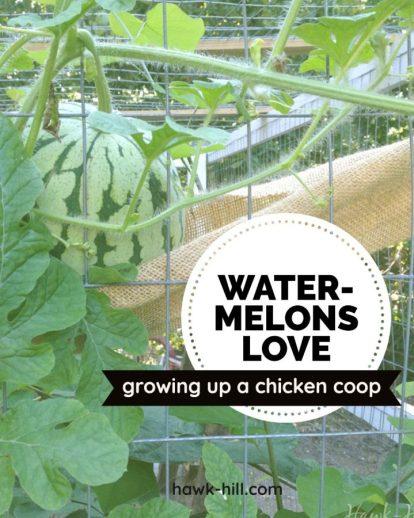 http://www.hawk-hill.com/2014/03/watermelons-in-chicken-run/