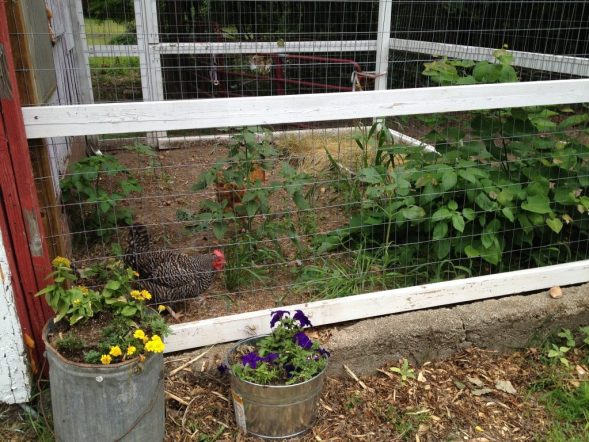 hh_chicken_coop_run_garden