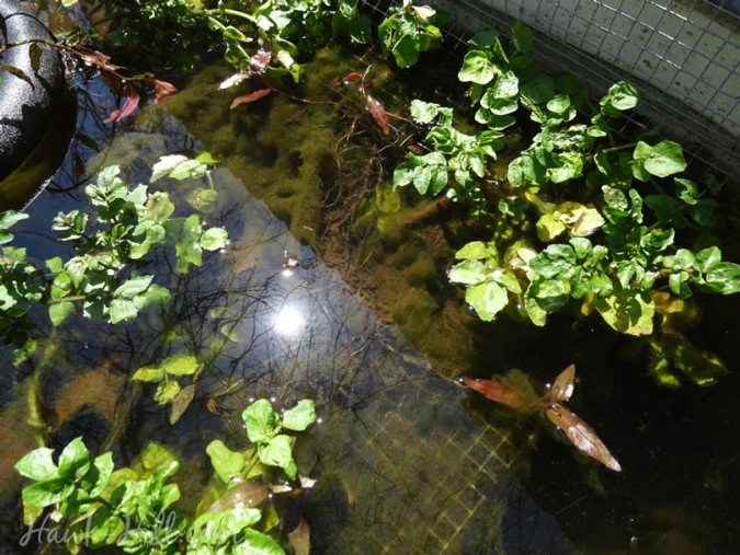 watercress growing in the water feature of a vegetable garden