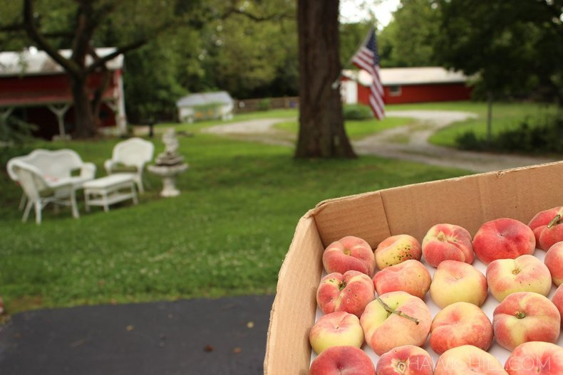 peach harvest from the micro-orchard at Hawk Hill