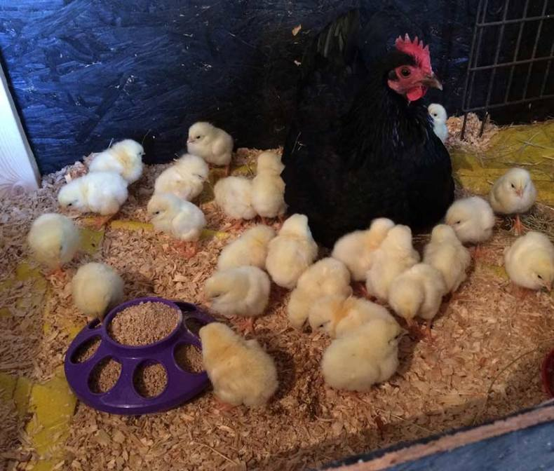 A broody hen made keeping my young chicks warm easier and cheaper