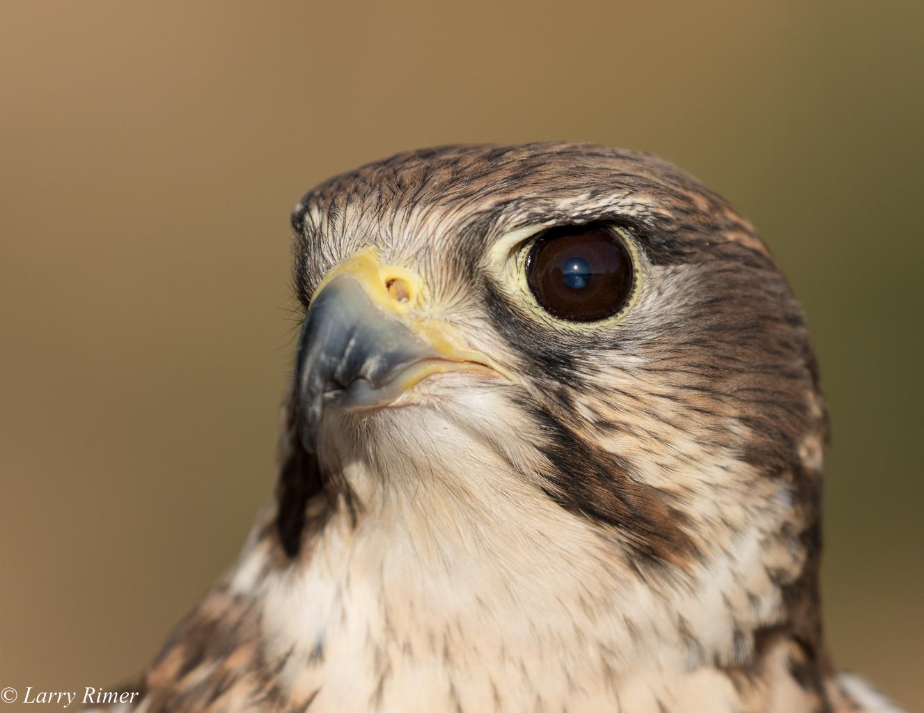 HA Prairie Falcons-0196