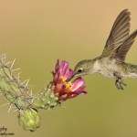 Black-chinned-Hummingbird-20