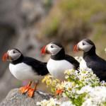 Three Atlantic puffins (Fratercula arctica) in Iceland