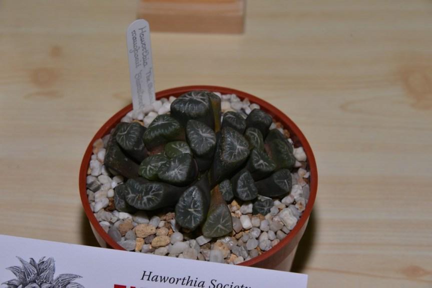 Class 79 - Haworthia truncata var. maughanii
