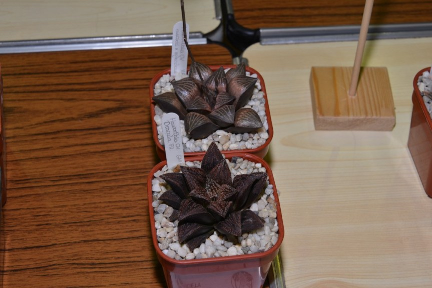 "Class 92 - Haworthia ""Dracula"" and Haworthia marxii x splendens"