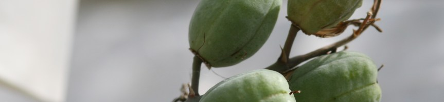 H. pumila seed pods