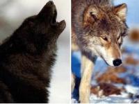 זאב צפון אמריקאי אפור (מימין), וזאב דומה בעל הגן לפרווה שחורה