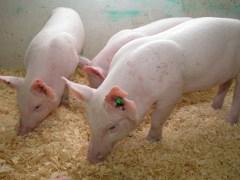 חזירים מהונדסים - Enviropiglets. צילום: אוניברסיטת גולף, קנדה