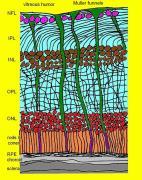 חתך דרך רשתית העין. פרט לשכבות האפורות הבולעות בתחתית, כל החלקים שקופים ונצבעו כאן לשם הדגמה בלבד. תאי העצב ממלאים את הנפח הכחול, וגרעיני התאים בצבעים ורוד, חום ואדום. האור מגיע מאישון העין (למעלה) ונלכד במשפכים של תאי הגליה (ירוקים) שם הוא מתרכז עד לתאים הרגישים לצבע (מדוכים) המסומנים בסגול. שאריות האור המפוזר מגיעות לתאי הקנים שאינם רגישים לצבע (בכתום). העובי של הרשתית הוא כרבע עד חצי מילימטר.