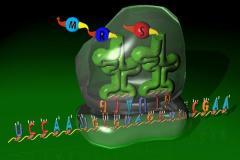 מיפוי תהליך התרגום של DNA לחלבונים באמצעות RNA