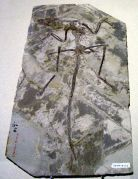 Microraptor zhaoianus - מאובן הדינוזאור הקטן בעולם. צולם במוזיאון המדע של הונג קונג, מתוך ויקיפדיה (רשיון GNU)