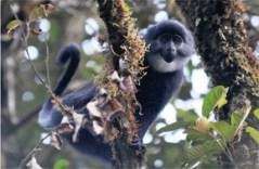 """בתמונה: קולובוס שחור, מהמינים שנמצאו חיוביים לנגיף SIV. צילום: ריץ' ברגל (Bergl), גן החיות של קרולינה הצפונית, ובאדיבות ד""""ר גייל הרן, תוכנית שימור המגוון הבילוגי בביוקו (BBPP)"""