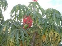 צמח הז'טרופה. מתוך ויקיפדיה